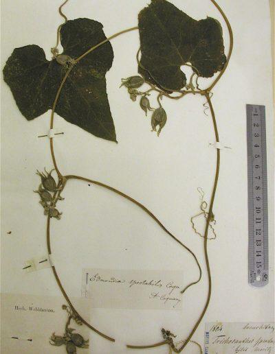 Calycophysum spectabile Herbar WEBB 2