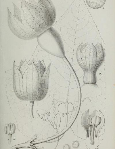 Calycophysum320947