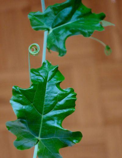 Cephalopentandra_leaves_8553