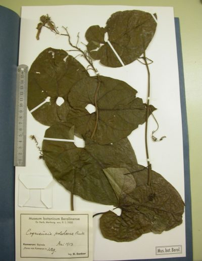 Cogniauxia-podolaena-B1