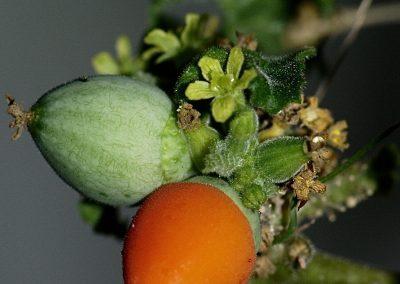 Corallocarpus_fruiting