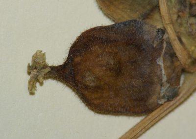 Corallocarpus_herb