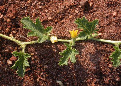 Cucumis-aculeatus-Nachingwea-10-9-05-2