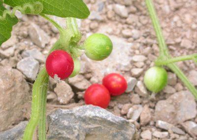 Cucumis-fruit-2-Xishuangbanna-22-8-05