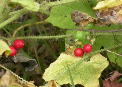 Cucumis-fruit-3-Xishuangbanna-22-8-05