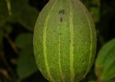 Cucumis-sacleuxii-Mlesa-Usambara-Mts.-01-10-05-1