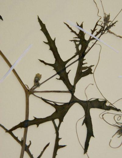 Cucurbitella-asperata-M4