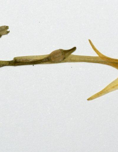 Cyclanthera