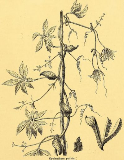 Cyclanthera2
