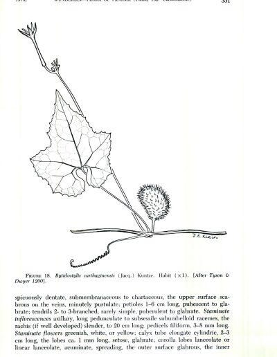 Cyclanthera_275060
