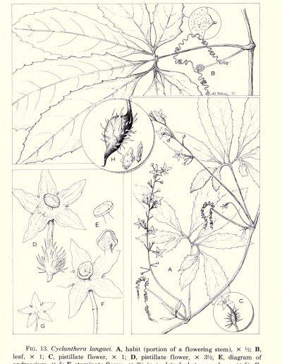 Cyclanthera_356369