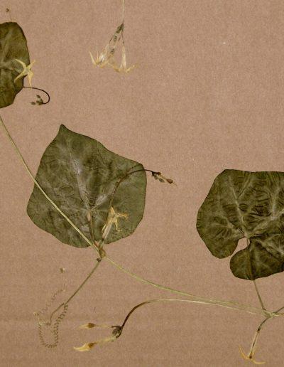 Cyclanthera_Rytidostylis-ciliata-ex-BGM2004