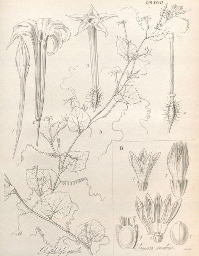 Cyclanthera_gracilis