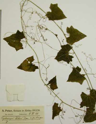 Cyclantheropsis-parviflora-B