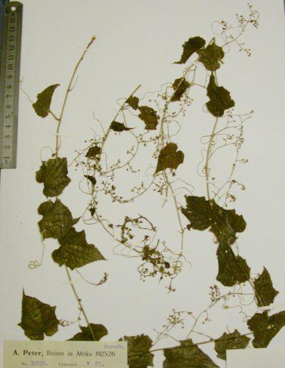 Cyclantheropsis-parviflora-B2