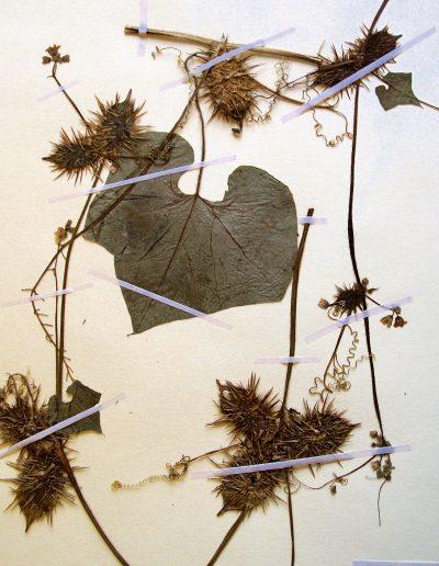 Echinopepon-racemosus