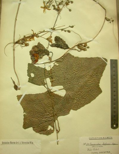 Eureiandra-balfourii-1
