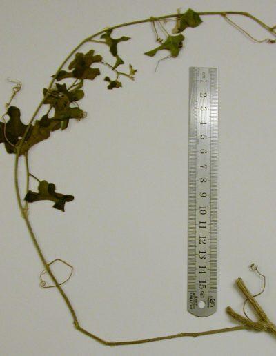 Eureiandra-cogniauxii