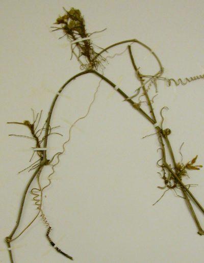 Eureiandra-fasciculata