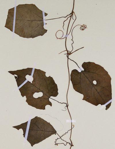 Eureiandra-formosana