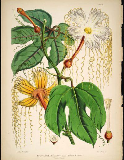 Hodgsonia_female_flower_Hooker_etal_1855