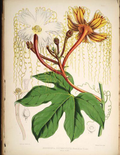 Hodgsonia_male_flower_Hooker_etal_1855
