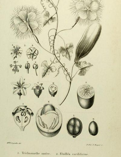 Linnaeosicyos_174523