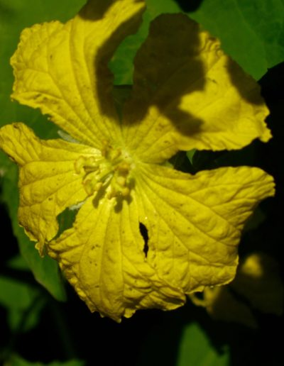 Luffa_acutangula_flower_with_Xylocopa_bee