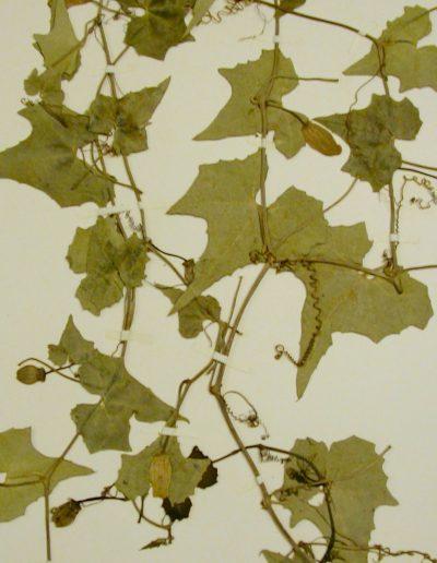 Penelopeia-suburceolata5
