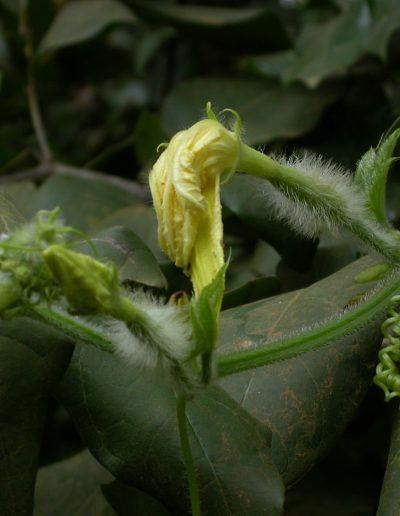 Peponium-vogelii2