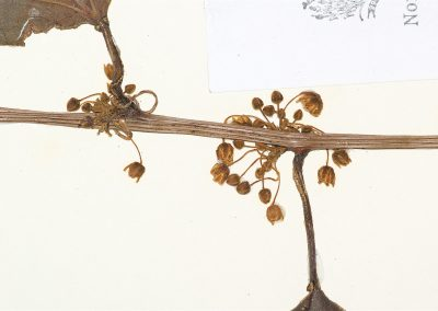 Anisosperma_passiflora_flower2