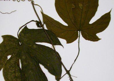 Ruthalicia-longipes1