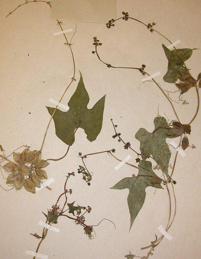 Sicyos_Sechiopsis-triquetra-1