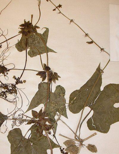 Sicyos_Sechiopsis-triquetra-2