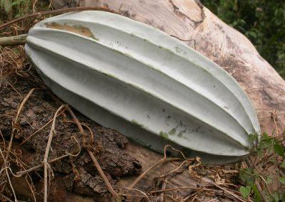 Telfairia-occidentalis-K
