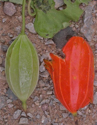 Trichosanthes-fruit-2