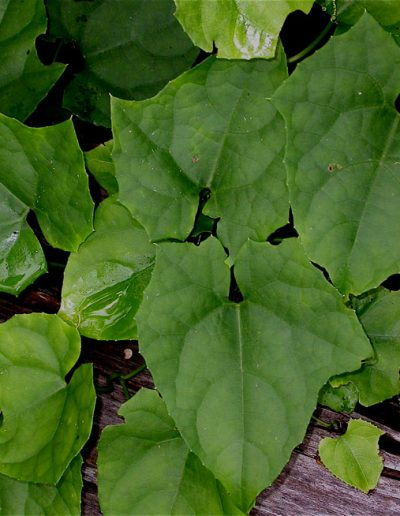 Trichosanthes_spec_HS496_C