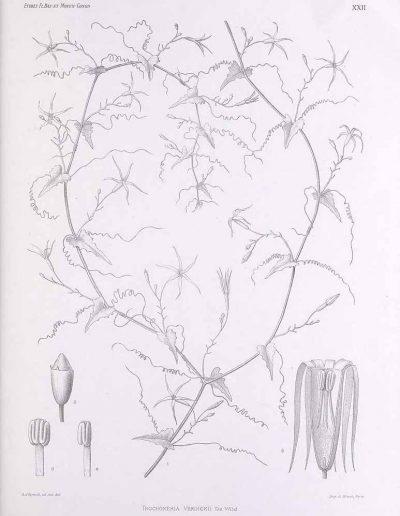 Trochomeria_175366